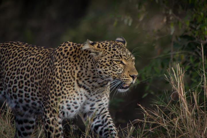 masai mara leopard face 720x480