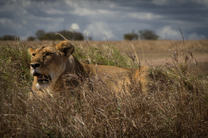 masai mara lion face 720x480