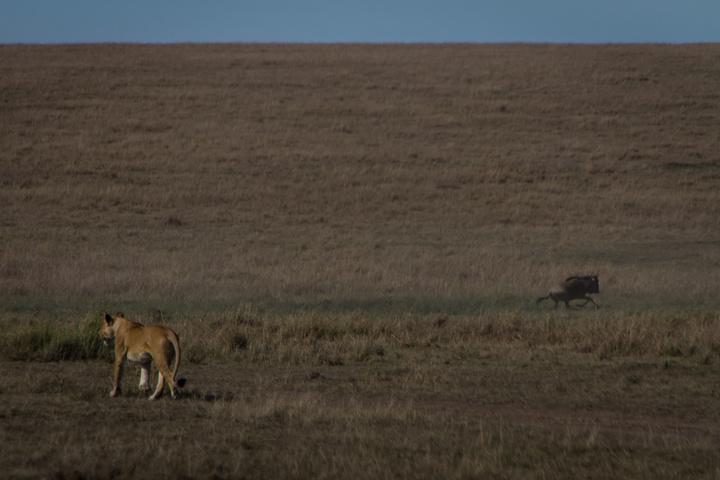 masai mara lion stalking 720x480