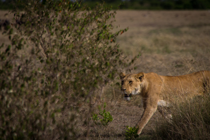masai mara lioness 720x480