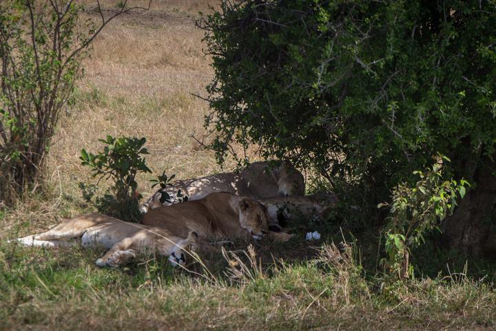 masai mara lions sleeping 720x480