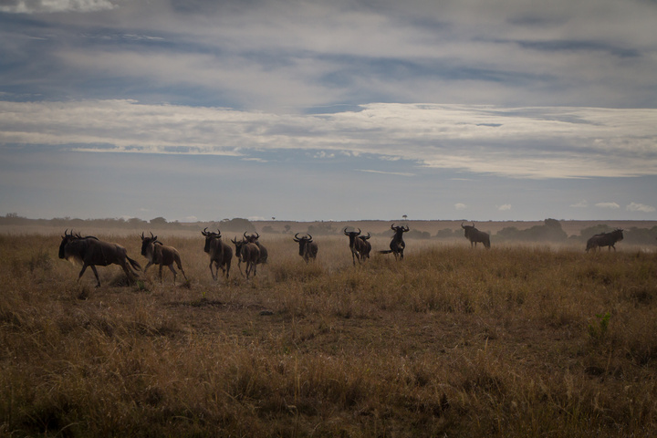 masai mara wildebeest 720x480