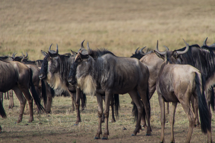 masai mara wildebeest herd 720x480