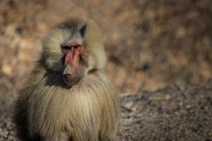 djibouti baboon 720x480