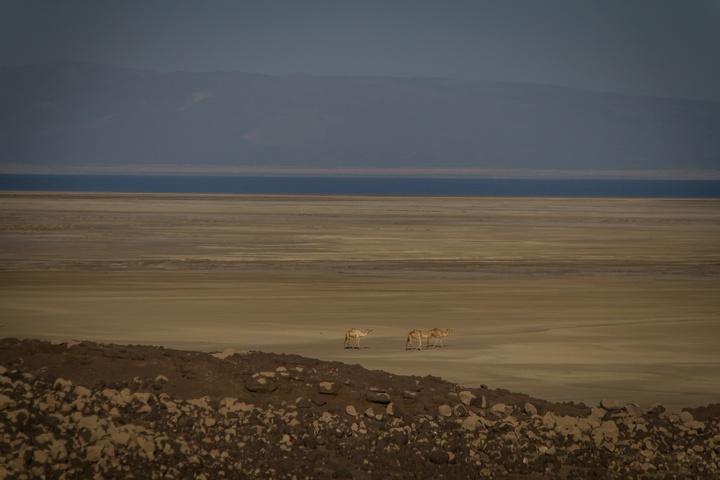lake abbe camels1 720x480