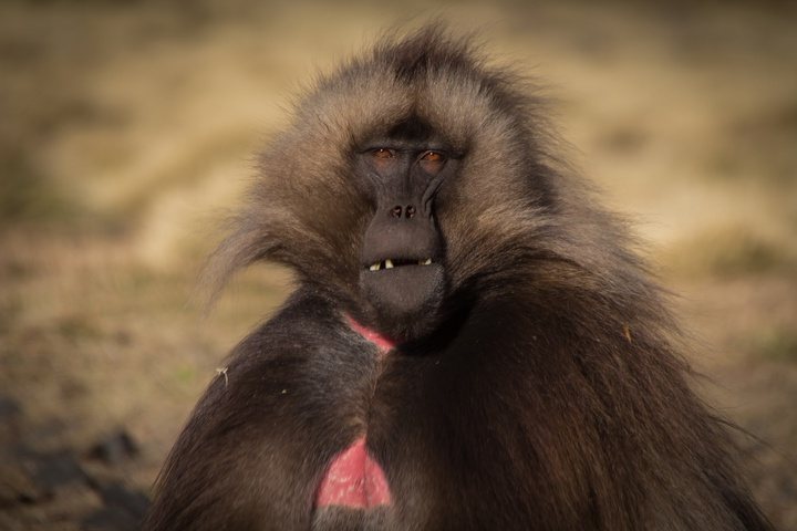 simien gelada baboon eating 720x480