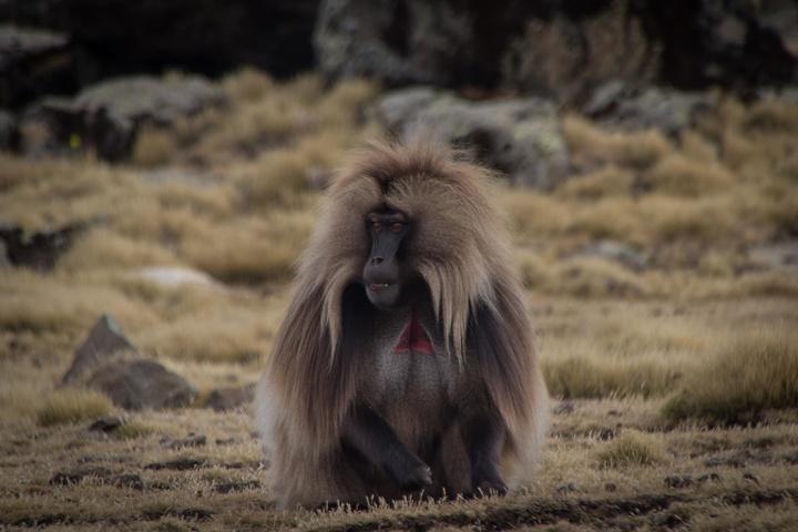 simien gelada baboon magestic 720x480