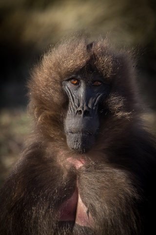 simien gelada baboon model 320x480