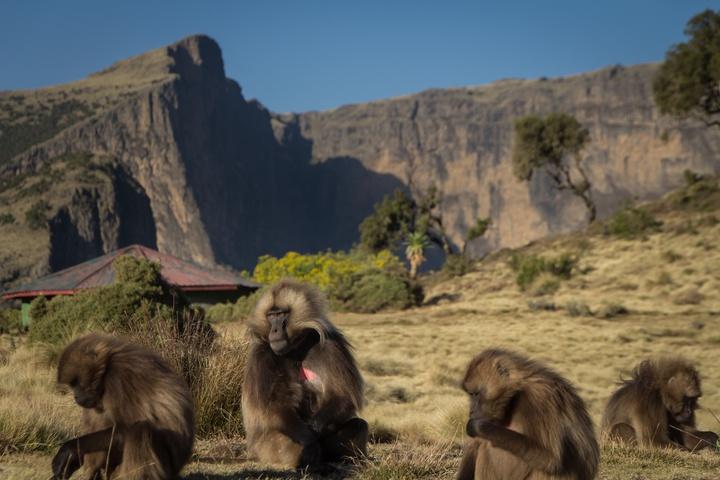 simien gelada baboons 720x480